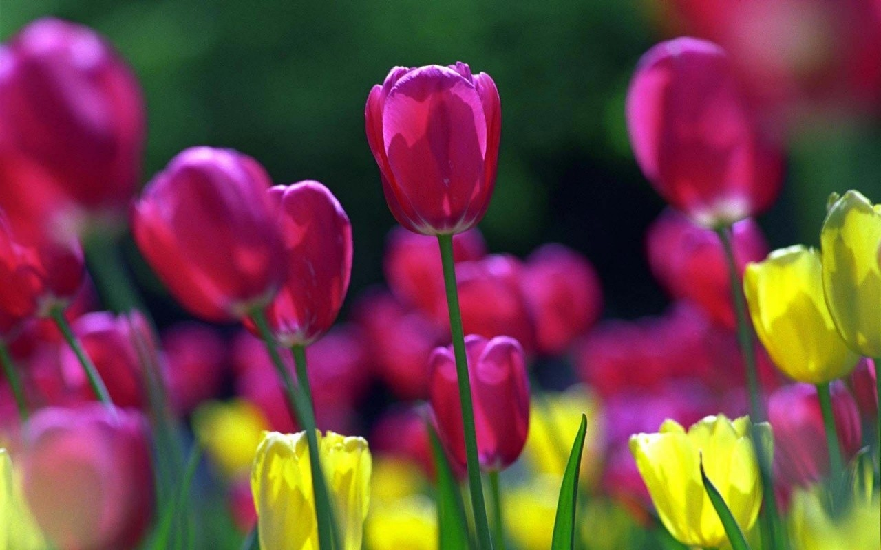 spring-tulips-wallpapers_2319_1280x800.j