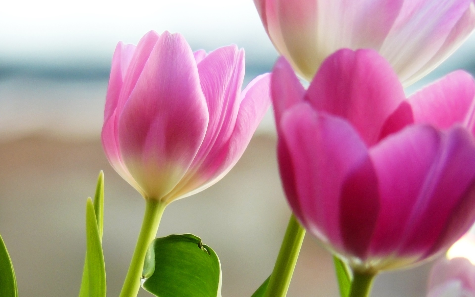 tulips-in-spring-wallpapers_8457_1920x12